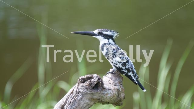 Pied kingfisher on tree trunk