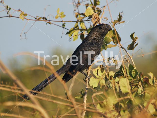 Smooth billed Ani bird in the Pantanal, Brazil