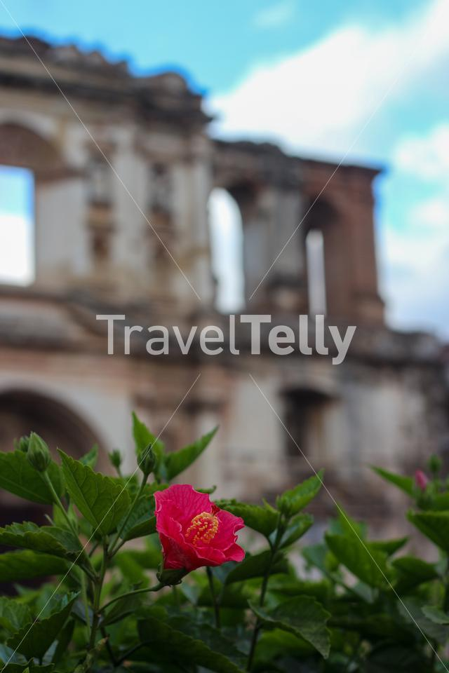 Flower and Ruins of Iglesia de la Compañía de Jesús as background