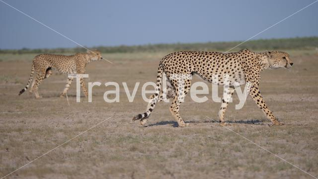 Two Cheetahs at Central Kalahari Game Reserve in Botswana