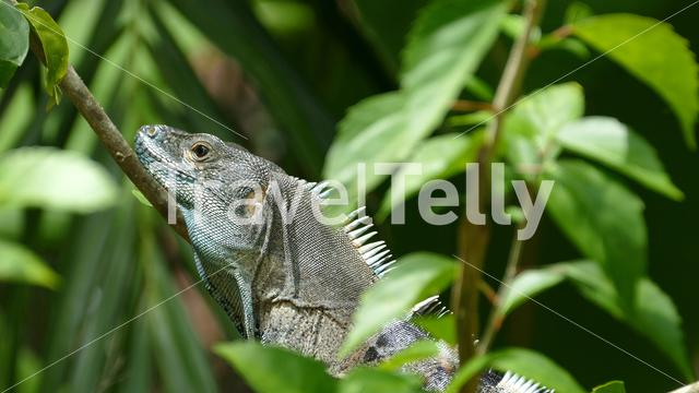 Close up from a lizard look up from the forest from Montezuma Costa Rica
