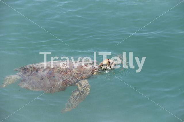 Turtle coming to the surface for breathing in Monkey Mia Western Australia