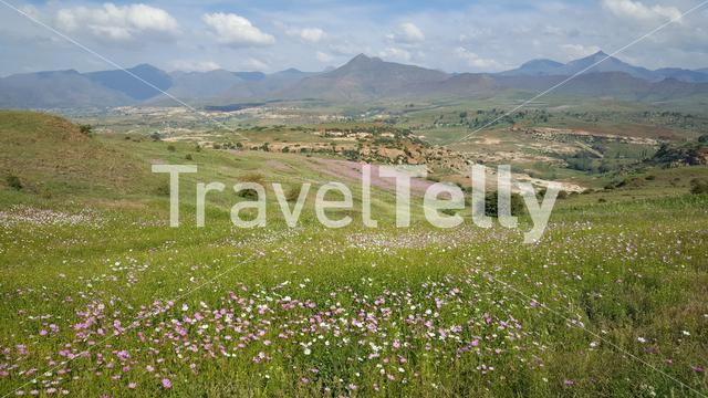 Field of pink and white flowers in the Mountains of Lesotho Africa