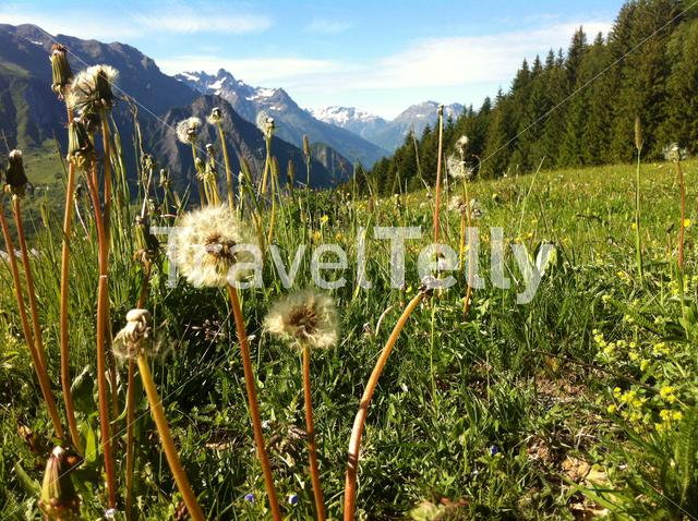 French Alps landscape with dandelions at Le Rivier France