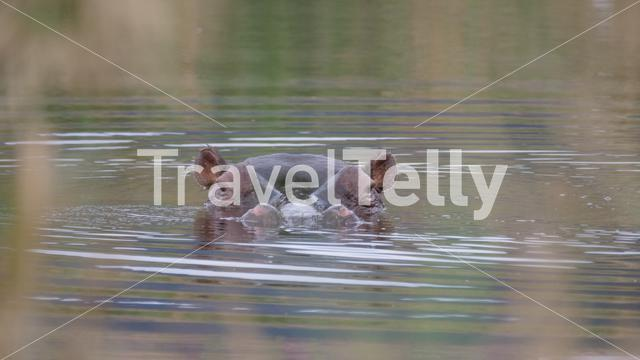 Close up from a hippo in a lake at Waterberg South Africa
