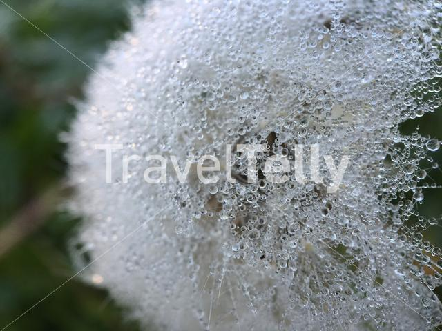 Raindrop on a dandelion in The Netherlands
