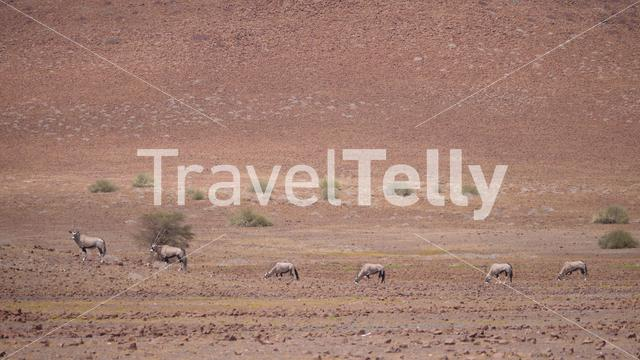 Herd of gemsbok on a dry savanna in Namibia