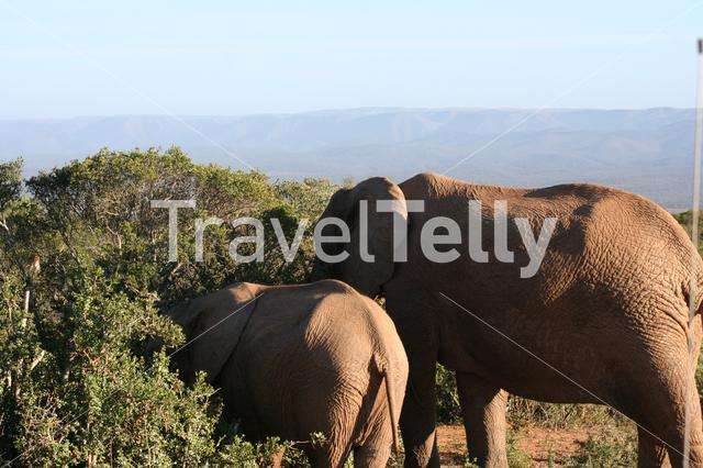 Elephants eating from a tree on the savanna in South Africa