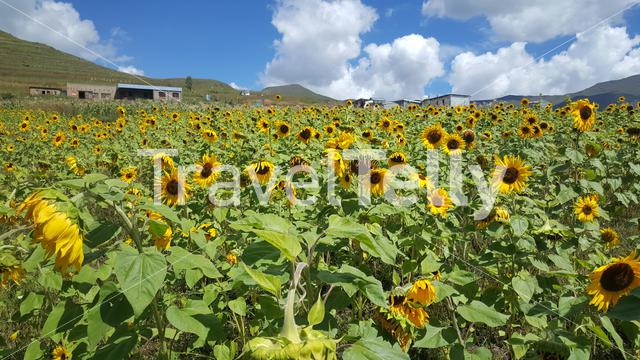 Sunflower field in Lesotho Africa