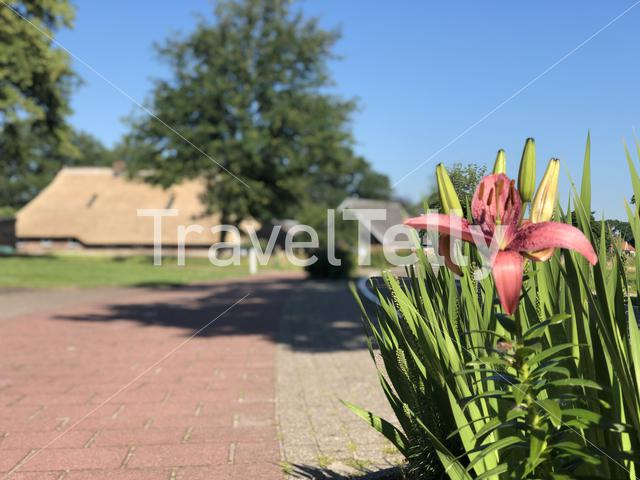 Flower next to the road at the village Beerze in Overijssel The Netherlands