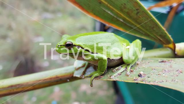 The green tree frog in Greece