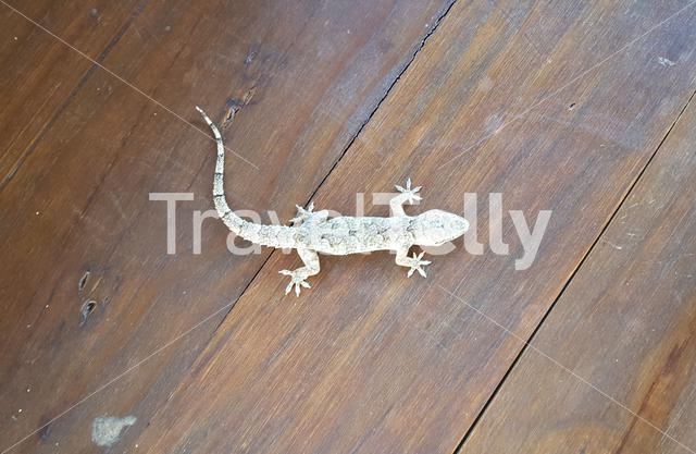 Brooke's house gecko on a table in South Africa