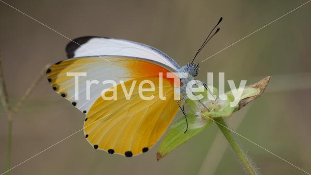 A Common Dotted Border butterfly on a flower in Waterberg South Africa