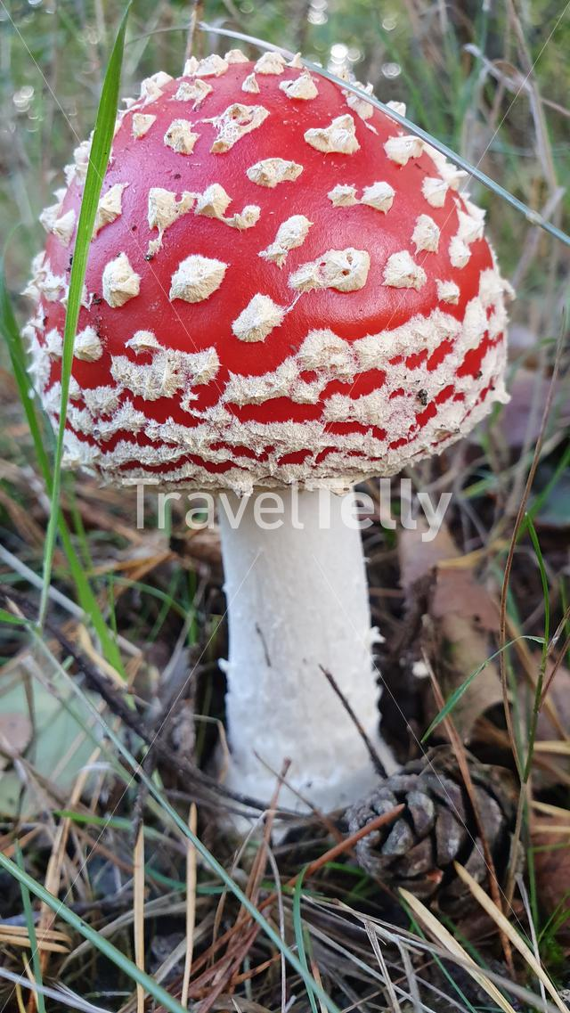 Red white dots mushroom in woods of Netherlands