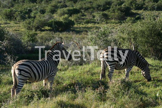 Zebras on the savanne of South Africa