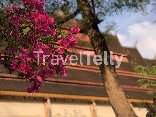 Pink flowers at Vat Haysoke a buddhist temple in Vientiane Laos