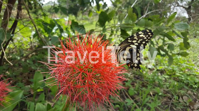 Black-yellow-winged-butterfly on Bottlebrush plant in Bao Bolong Wetland Reserve a National park in Gambia, Africa