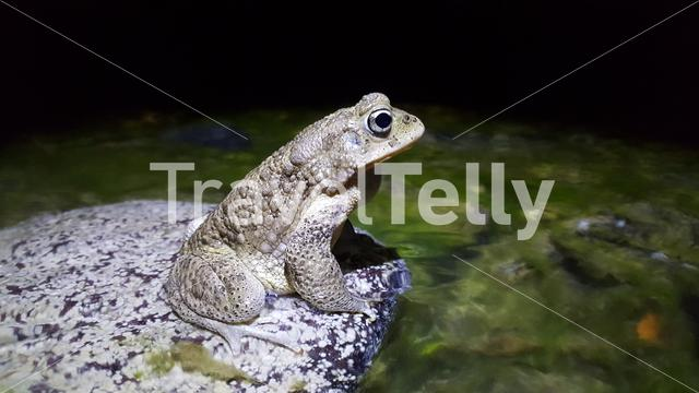 Bufo toad on a rock at Toubkal National Park in Morocco, Africa
