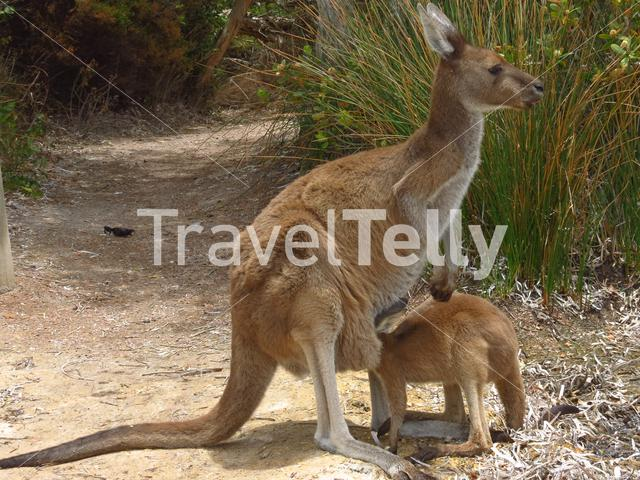 Baby kangaroo with is head in mothers pouch at Lucky Bay in Cape Le Grand National Park Australia