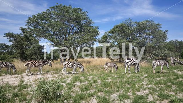 Herd of Zebras at Moremi Game Reserve in Botswana