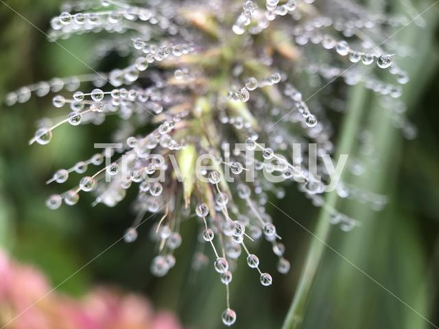 Pennisetum with dewdrops