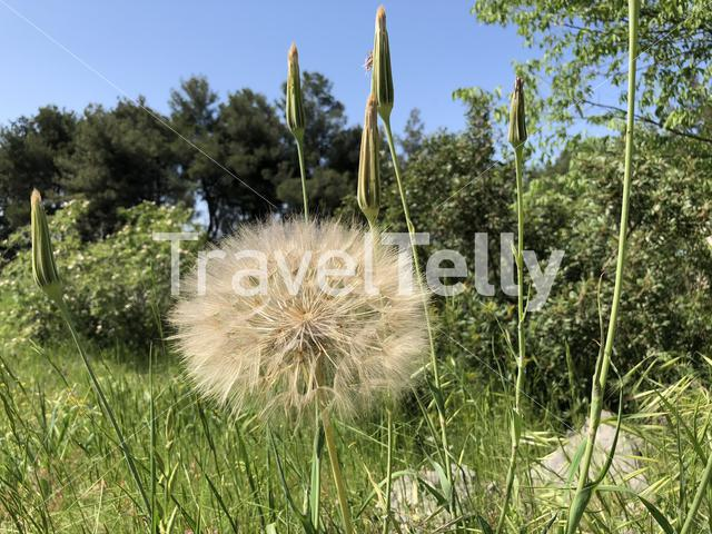 Giant dandelion puff on Brac island in Croatia