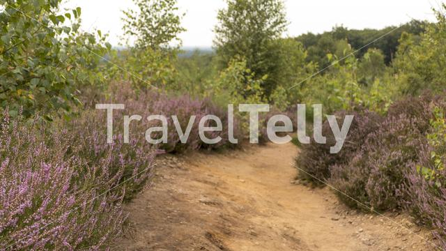 A footpath with heather at the Sallandse Heuvelrug in Nijverdal The Netherlands