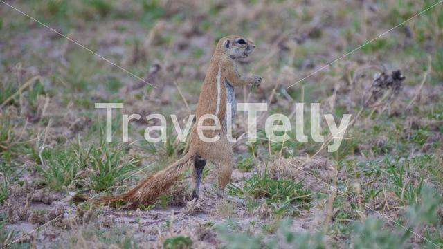 African ground squirrel standing in Central Kalahari Game Reserve, Botswana