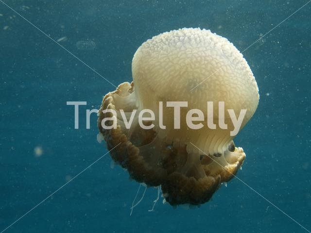 Australian spotted jellyfish in Ko Chang Thailand
