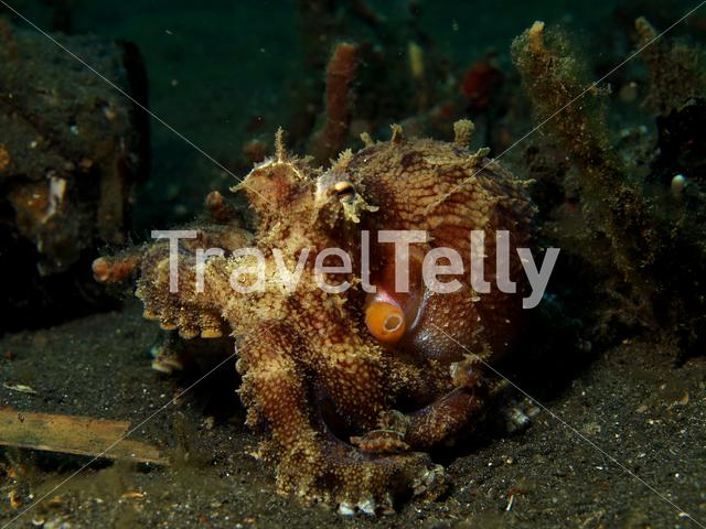 Veined Octopus in Lembeh Sulawesi Indonesia