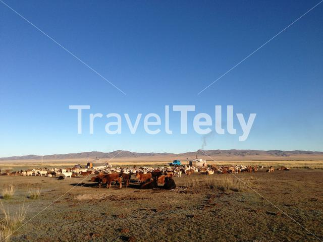 Two traditional yurts with livestock in Mongolia