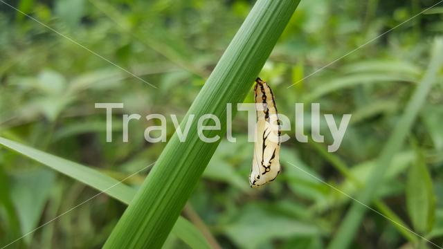 Butterfly cocoon on a leaf in Loango National Park, Gabon