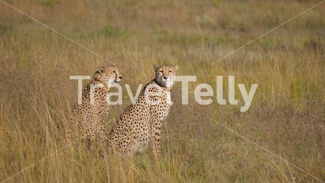 Two cheetahs looking around in waterberg South Africa