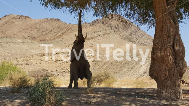 Elephant reaching for leafs on a tree at Hoanib riverbed in Nambia