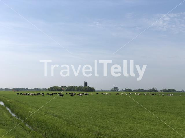 Cows in meadow in Friesland The Netherlands