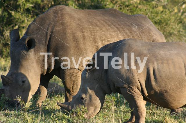 Two rhinos on the savanna in South Africa
