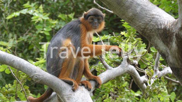 Western red colobus monkey in a tree in the Gambia Africa