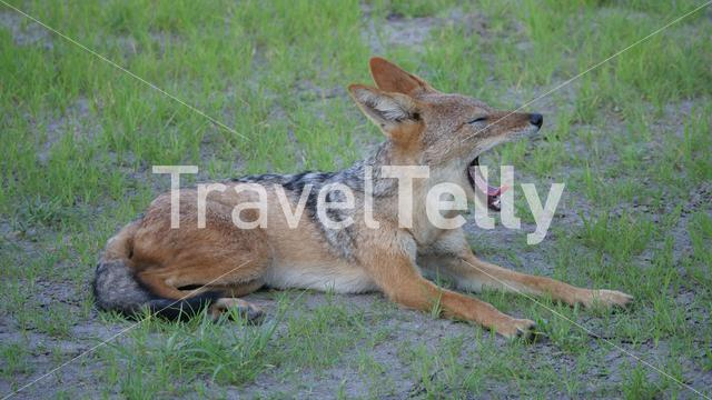 Black-backed jackal yawning at Central Kalahari Game Reserve in Botswana