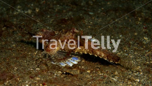 Short dragonfish in Lembeh Sulawesi Indonesia