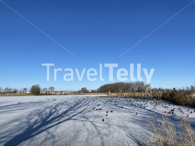 Birds around water in a frozen lake around Sneek, Friesland The Netherlands