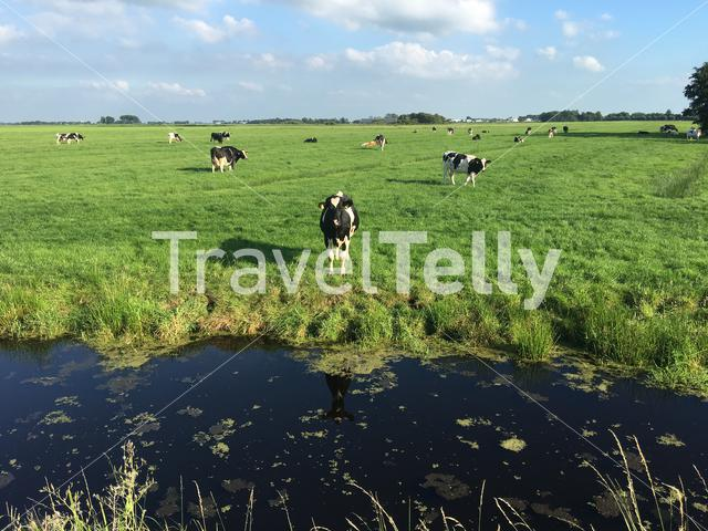 Cows during summer in Friesland The Netherlands