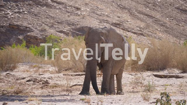 Lonely elephant grazing on the dry Hoanib Riverbed in Namibia