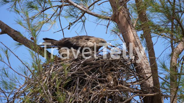 Tawny Eagle building a nest in a tree at Senegal, Africa