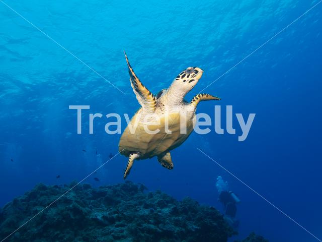 Green sea turtle in the Mesoamerican Reef Mexico