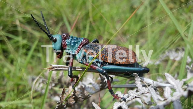 Close up from a South African Grasshopper at Natal Drakensberg National Park in South Africa in South Africa