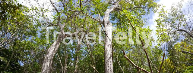 Panorama from Silk floss trees in Montezuma forest