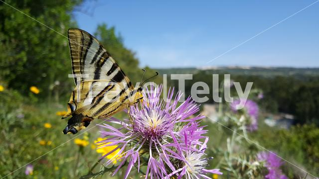 A scare swallowtail butterfly