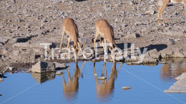 Two Impala drinking from a pond