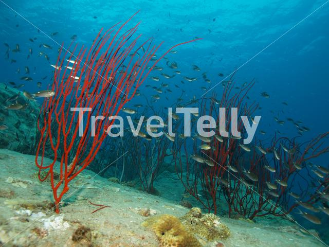 Damselfish in Ko Chang Thailand