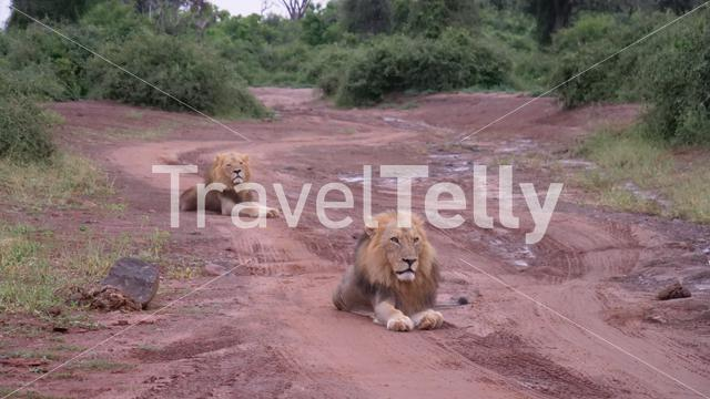Two male lions laying on a dirt road in Moremi Game Reserve, Botswana